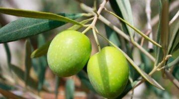 go-oliva